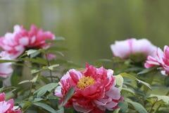 Rot mit den weißen Pfingstrosenblumenblättern Lizenzfreie Stockfotografie