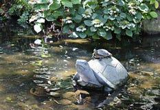 Rot-ohrige Schieber-Schildkröte, die auf einem konkreten Turt sich aalt Lizenzfreies Stockbild