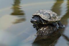 Rot-ohrige Schildkröte Stockfotografie