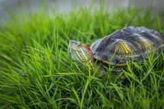 Rot-ohrige Schildkröte, die auf dem Gras sich aalt in der Sonne stillsteht Lizenzfreie Stockfotos