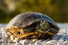 Rot-ohrige Schweberschildkröte Stockfoto