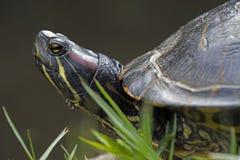 Rot-ohrige Schweberschildkröte Lizenzfreie Stockfotografie
