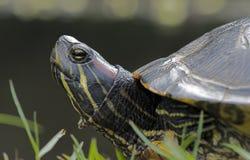 Rot-ohrige Schweberschildkröte Stockbilder