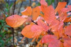 Rot-orange Blätter auf einem Baum nach einem Regen im Fall Stockfotografie