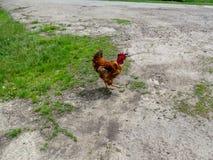 Rot-orange Hahn mit einem großen Kamm läuft entlang die Straße Stockbild