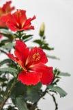Rot-orange Hibiscusblume mit einem weißen Hintergrund stockbilder