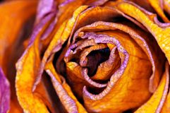 Rot-orange Rose - auswendige Rose Stockbild