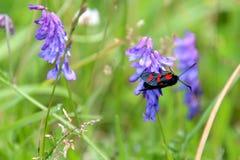 Rot punktiertes Insekt auf einer Wiese Stockfoto