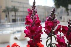 Rot-purpurrote Blumen von der Stadt von Jerusalem stockfotos