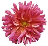 Rot-rosa große Blume, gelbe Mitte auf einem weißen Hintergrund lokalisiert mit Beschneidungspfad nahaufnahme große rauhaarige Blu Lizenzfreies Stockbild