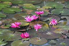 Rot-rosa Lilienwasserblühen lizenzfreie stockbilder