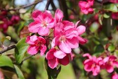 Rot-rosa Pflaume blüht Blüten auf dem Baumhintergrund Stockbild
