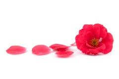 Rot rosafarben und Steigenblumenblätter Stockfotografie