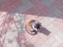 Rot-schwarze Katze, die auf der Pflasterung der Draufsicht der grauen und roten Fliese sitzt Lizenzfreie Stockfotografie