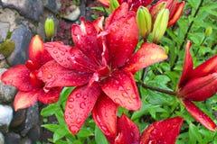 Rot- schwarze Lilien Stockbild