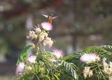 Rot-schwebende Summenvogel-Motte Lizenzfreie Stockbilder