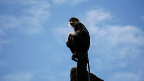 Rot--shanked douc Affe, der auf Wipfel mit Himmelhintergrund sitzt, Stockbilder