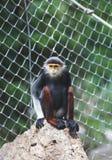 Rot--shanked douc, das auf Felsen im Tierzoo sitzt Lizenzfreie Stockbilder