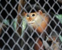 Rot--Shanked Douc mit Baby im Käfig Lizenzfreie Stockbilder