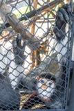 Rot--shanked Kleideraffe im Zoo Lizenzfreies Stockbild