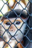 Rot--shanked Kleideraffe im Zoo Lizenzfreies Stockfoto