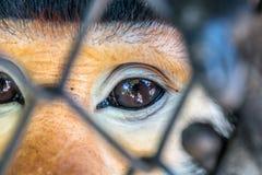 Rot--shanked Kleideraffe im Zoo Stockfoto