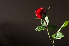 Rot stieg auf dunklen Hintergrund Lizenzfreies Stockfoto