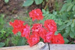 Rot stieg in den Garten Stockfoto
