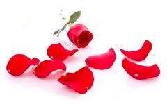 Rot stieg mit den gefallenen getrennten Blumenblättern Stockfoto