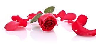 Rot stieg mit den gefallenen getrennten Blumenblättern Lizenzfreie Stockfotos