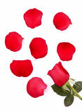 Rot stieg mit den gefallenen getrennten Blumenblättern Stockfotos