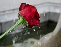 Rot stieg mit Wassertropfen Stockfoto