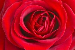 Rot stieg mit Wassertropfen Rose lizenzfreie stockbilder