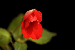 Rot stieg wie Blume Lizenzfreie Stockfotos