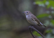 Rot-throated Flycatcher Lizenzfreie Stockbilder