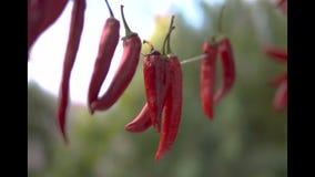 Rot trocknete Paprikapfefferfall auf dem getrocknet zu werden Draht, Schließen Sie herauf Schuss stock video footage