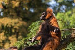 Rot trumpfte den Maki (Varecia-rubra) ein Sonnenbad nehmend auf einem Baumast Stockfotos