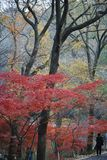 Rot-und Gelb-Blätter an Xixia-Berg, Nanjing China lizenzfreie stockfotografie