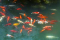 Viele fr sche schlossen sich zusammen einen teich im for Koi und goldfische zusammen
