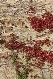 Rot und Grün verlässt auf einer alten Wand in Spanien Stockfoto