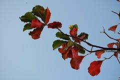 Rot- und Grünblätter mit bluesky Hintergrund Stockfotografie
