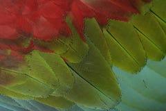 Rot-und-grüner Keilschwanzsittich, Aronstäbe chloropterus Lizenzfreies Stockfoto