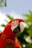 Rot-und-grüner Macaw Stockfoto