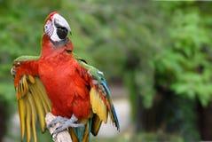 Rot-und-grüner Macaw auf Stange Lizenzfreie Stockfotos