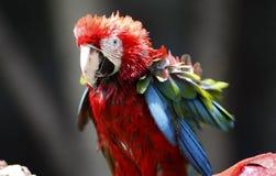 Rot-und-grüner Macaw-Vogel Lizenzfreie Stockfotografie