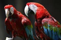 Rot-und-grüner Macaw-Vogel Stockbilder