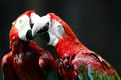 Rot-und-grüner Macaw-Vogel Lizenzfreie Stockbilder