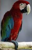 Rot-und-grüner Macaw-Vogel Stockbild
