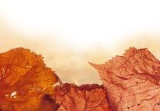 Rot und Orange färbt Efeublattnahaufnahme Stockfotografie