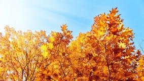 Rot und Orange färbt Efeublattnahaufnahme Stockfotos